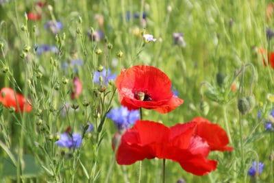 Jachère fleurie Normandie